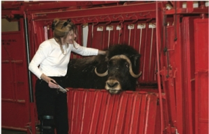 Linda brushes a muskox to glean the amazing qiviut, a fiber without compare.