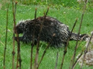 Not a poem, but a very cute porcupine.